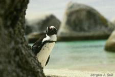 Simons Town, Jackass Penguin at the Boulders